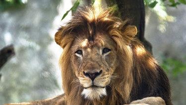 Killed: the lion Nyack.