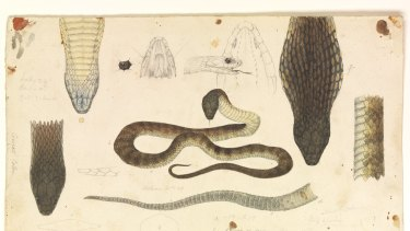 Tiger snake by 19th-century illustrator Arthur Bartholomew.