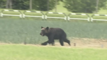 A brown bear runs on a field in Sapporo, northern Japan, last month. It was put down after entering a military camp and injuring four people.