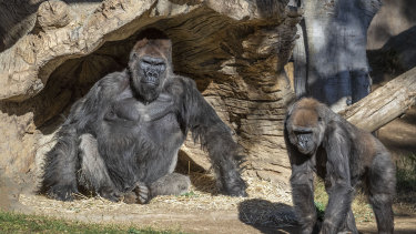 Members of the gorilla troop at the San Diego Zoo Safari Park are seen in their habitat on Sunday.