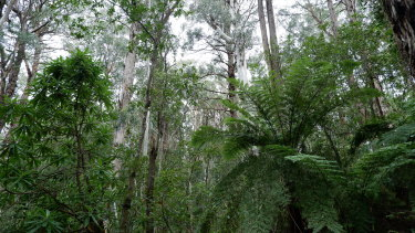 Old-growth forest in East Gippsland.