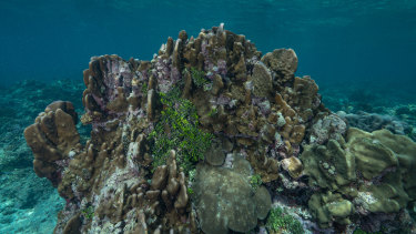 Research from Griffith University showscrustose coralline algae could help preserve the Great Barrier Reef in the face of changing climate