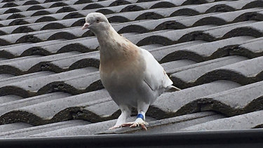 The racing pigeon appears to have made an extraordinary 13,000-kilometre Pacific Ocean crossing from the United States to Australia.