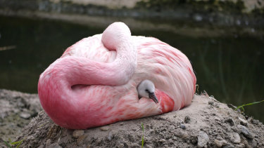 An Andean flamingo swaddles a surrogate Chilean flamingo chick.