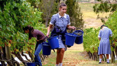 Mount Lilydale Mercy College students hard at work picking the grapes for this year's wine.