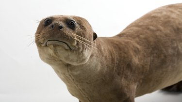 Sad Otter is one of Melbourne Museum's most famous residents.