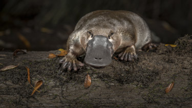 A platypus photographed by Douglas Gimesy, who made the initial application to have the animal listed as vulnerable almost two years ago.