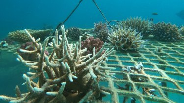 Corals grown in coral nurseries are attached to Opal Reef off Cairns.