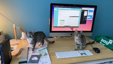 Kittens Rios and Soji take over Laura Summer's working from home office.
