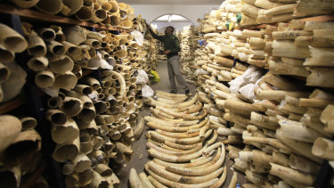 A Zimbabwe National Parks official inspects the country's ivory stockpile in 2016.
