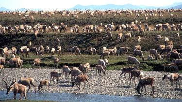 Caribou on the coastal plain of the Arctic National Wildlife Refuge in northeast Alaska.