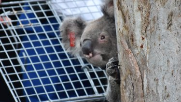 Queensland's Koala Genome Project