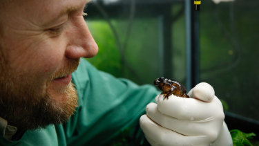 Damian Goodall with a female Baw Baw frog at Melbourne Zoo.