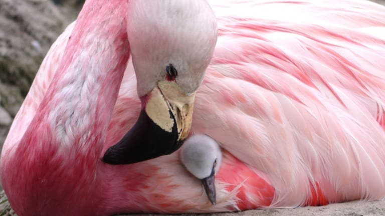 Unfortunately, none of the eggs were viable, but caretakers got the Andean flamingos into parenting mode with fostered chicks.