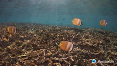 With less energy, butterflyfish reduced their aggressive behaviour by an average of two-thirds, the researchers found.