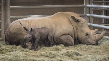 Day-old southern white rhino calf Edward stands beside its resting mother, Victoria, at the Nikita Kahn Rhino Rescue Centre at the San Diego Zoo Safari Park in Escondido, California.