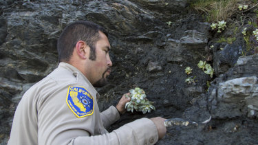 Californian wildlife officer Will Castillo replants a Dudleya in Humboldt County, where demand for the plant is fuelling mass theft.