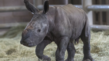 The zoo has announced the first successful artificial insemination birth of a southern white rhino in North America.