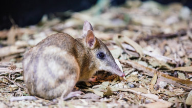 The Eastern Barred Bandicoot is one of the animals Dr Parrott works to protect.