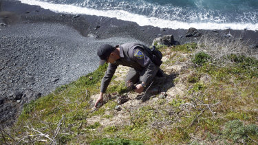 Californian wildlife officer Pat Freeling replants a Dudleya in Mendocino County.