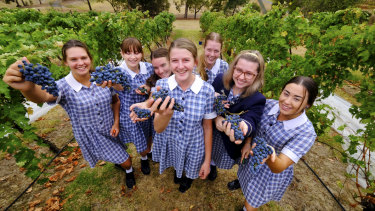 Grape expectations: Abi van Bergeijk, centre, and fellow students picking grapes at Mount Lilydale Mercy College.