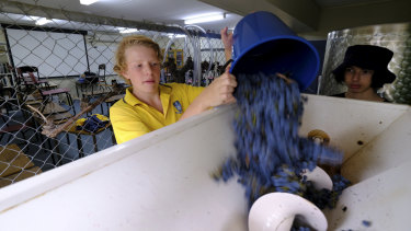 Off you go: Fraser Beyer, left, pours grapes into the de-stemming and crushing machine.