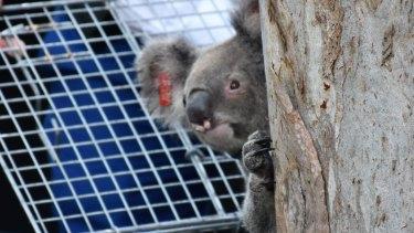 Queensland's Koala Genome Project