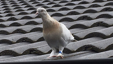 Joe the racing pigeon was thought to have 13,000 kilometres across the Pacific Ocean.