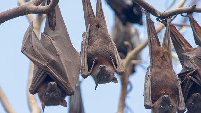 New Hendra virus variant confirmed in flying foxes across Australia