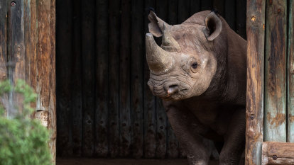 Dozens of rhinos dehorned to prevent virus lockdown poaching surge