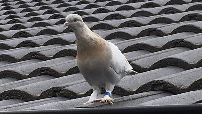Joe the pigeon might give us happy ending we all need