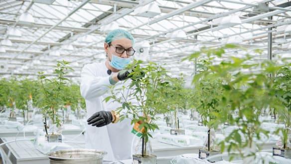 Canada opens the door wide to legal marijuana