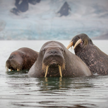 Three walruses swimming in Svalbard.