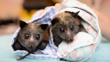 Bushfire-affected flying foxes in care at Queensland's Australia Zoo Wildlife Hospital.