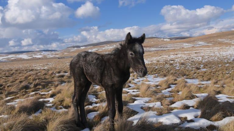 Three-week old foal 'Gian' photographed last week near Kiandra.