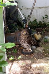 A powerful owl with an eye injury.