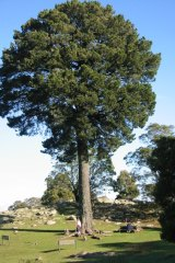 The 100-year-old Radiata Pine at Mount Beckworth Scenic Reserve was the 2018 Victorian Tree of the Year. Voting for the 209 Tree of the Year is now open.