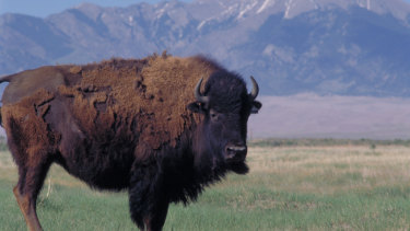 A bison roams on land purchased by The Nature Conservancy in the San Luis Valley of Colorado.
