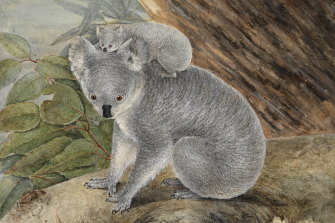 """An 1803 watercolour of koalas. Westerners unfavourably compare Australian animals to the """"norm"""" of European animals, says Jack Ashby, from Cambridge's Museum of Zoology."""