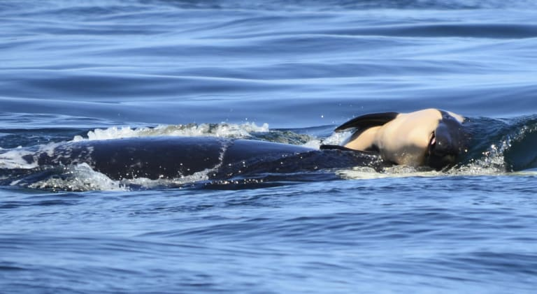 The dead baby orca being pushed by her mother after being born off the Canada coast last month.