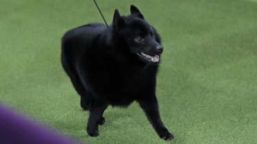 Excused: Colton, a schipperke, was allowed to walk onto the field but was then excused.