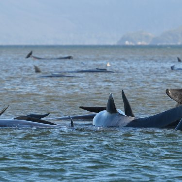 The whales stranded on a sandbank at Macquarie Harbour off Strahan in September.
