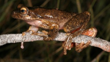 The large brown tree frog.