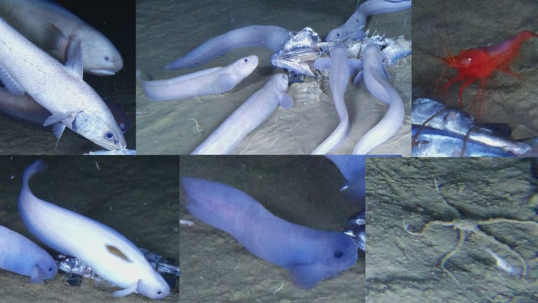 A new species of snailfish recently discovered in the Atacama Trench.