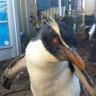 Threatened penguins off to Antarctica after brief holiday in WA