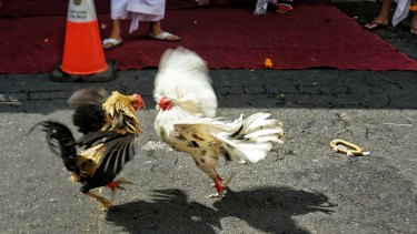 Cock fighting in Bali.