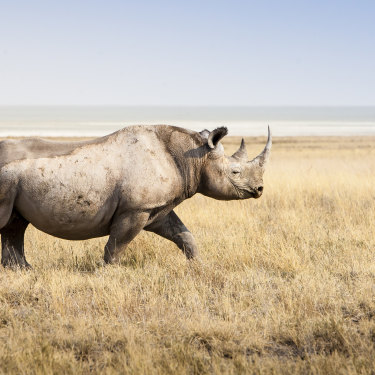 A thousand rhinos are killed each year for their horns, which are touted as a cure-all for everything from cancer to hangovers.