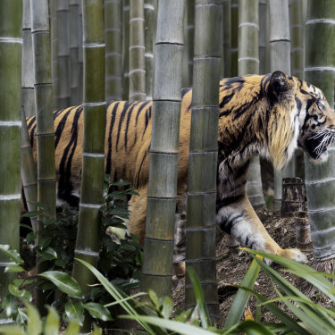Less than 4000 tigers remain in the wild but at least 100 are still killed each year for the global trade in their parts and skin.