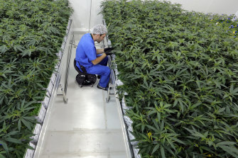 Marijuana plants growing at a facility in Baton Rouge, Louisiana.