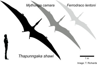 Thapunngaka shawi had a seven metre wingspan, and was larger but possibly related to two other Australian pterosaur species.